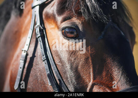 The sunlit muzzle of a Bay horse wearing a bridle, with a dark fluffy mane and a beautiful eye close-up. - Stock Photo