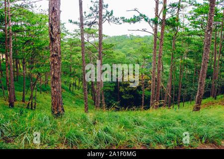 Landscape of beautiful green pine trees on Ta Nang hill in Viet Nam. Royalty high-quality stock image of landscape. - Stock Photo