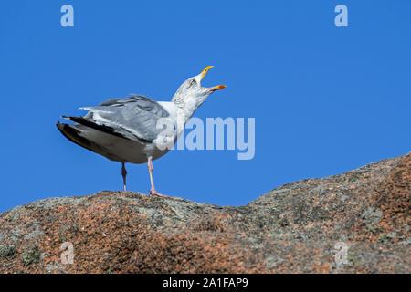 European herring gull (Larus argentatus) calling from rock along the coast
