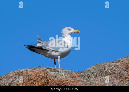 European herring gull (Larus argentatus) in non-breeding plumage perched on rock along the coast - Stock Photo
