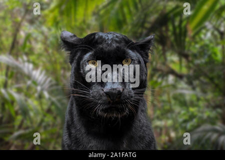 Melanistic leopard / black panther (Panthera pardus) in rain forest, native to sub-Saharan Africa and Asia