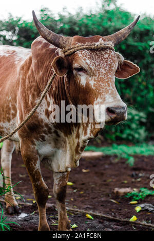 Brown spotted cow with horns grazing half potrait - Stock Photo