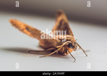 giant brown peacock moth on a white background. - Stock Photo