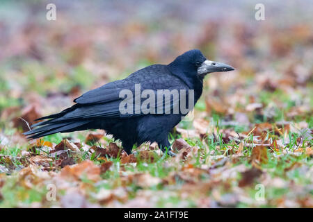 Rook (Corvus frugileus), side view of an adult standing on the ground, Warsaw, Poland - Stock Photo