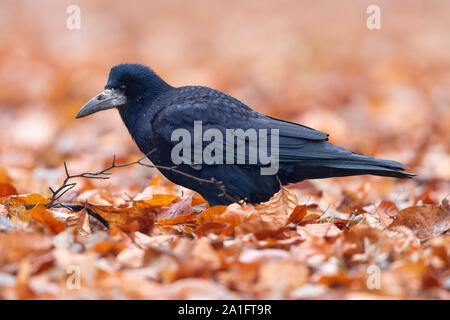 Rook (Corvus frugileus), side view of an adult standing among autumn leaves, Warsaw, Poland - Stock Photo