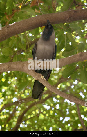 Indian house crow is sitting in the crown of the sycamore tree - Stock Photo