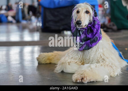 White Borzoi laying on the stone floor indoors, Purple scarf around neck, groomed and ready, waiting at the dog competition - Stock Photo