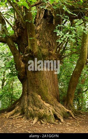 Ancient sweet chestnut (Castanea sativa) tree trunk in Santa Margarida volcano forest (Garrotxa Volcanic Zone Natural Park, Santa Pau, Girona, Spain) - Stock Photo