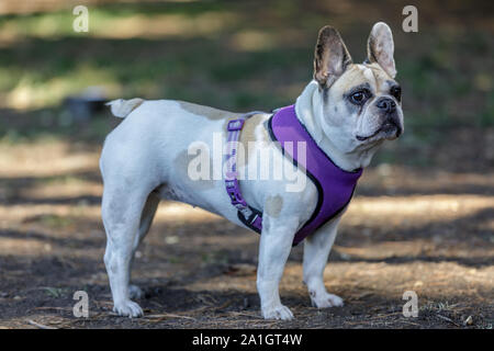 Curious Pied Female Frenchie. - Stock Photo