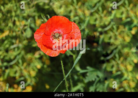 a single poppy in a meadow Latin papaver rhoeas in Italy in Springtime a remembrance flower for war dead and veterans - Stock Photo