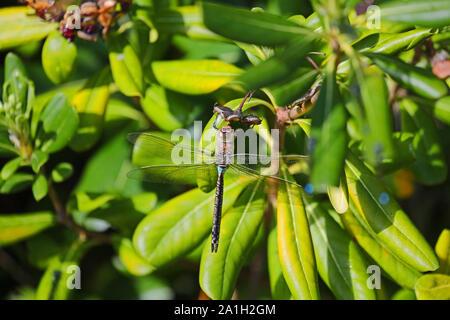 Lesser Emperor dragonfly Latin Anax Parthenope feeding on a pittosporum tobira, mock orange, Japanese cheesewood or Australian laurel leaf - Stock Photo
