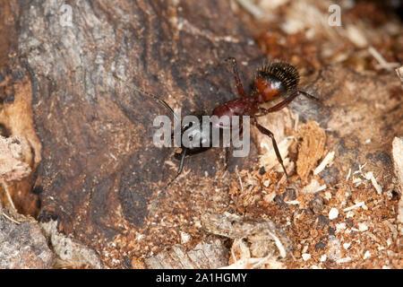 Braunschwarze Rossameise, Riesenameise, Holzzerstörende Rossameise, Ross-Ameise, Riesen-Ameise, Roßameise, Camponotus ligniperdus, Camponotus ligniper