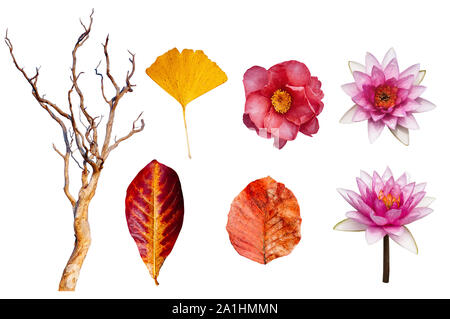 Autumn leaves and lotus, Japanese Camellia flower and beautiful dead tree isolated on white background with clipping path- colourful  season change co - Stock Photo