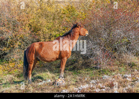 Horse standing near dog rose and ready to eat those tasty red berries - favorite dainty for those animals in Crimean mountains - Stock Photo