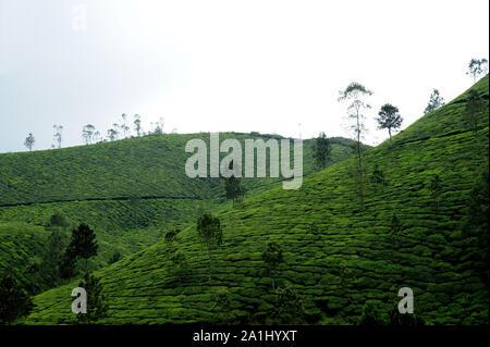 Munnar, Kerala; India; Southeast Asia - Nov. 2017 : Beautiful Tea garden / Plantation at munnar kerala india - Stock Photo