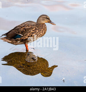 Mallard duck perched on a rock poking out of the water in Mahone Bay at sunrise, reflected in the water. - Stock Photo