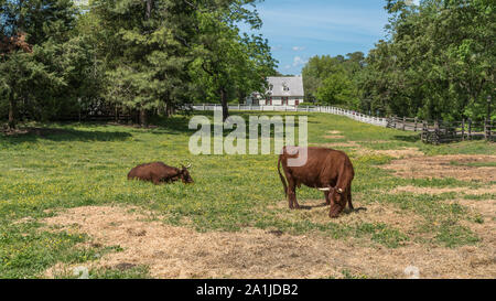 Two cows in a pasture with a house in the background - Stock Photo