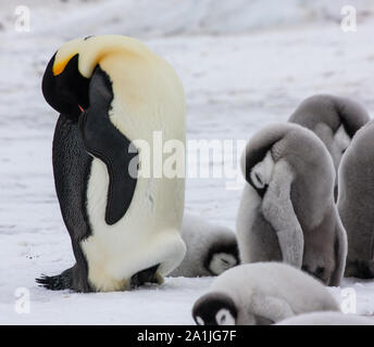 Resting emperor penguin adult and chicks in the rookery at Snow Hill Island, Antarctica - Stock Photo