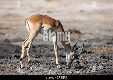 Male Impala Aepyceros melampus grazing on the banks of the River Chobe in Botswana, Africa - Stock Photo