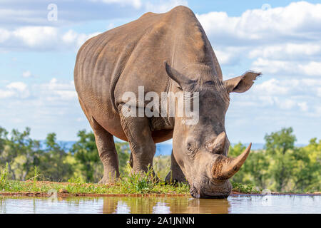 Portrait of a white rhinoceros (Ceratotherium simum) drinking water, Welgevonden Game Reserve, South Africa. - Stock Photo