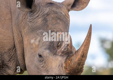 Red-billed oxpecker (Buphagus erythrorhyncus) looking for food on a rhino, Welgevonden Game Reserve, South Africa. - Stock Photo