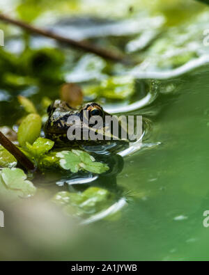 A European Common Frog (Rana Temporaria) in a garden pond. - Stock Photo