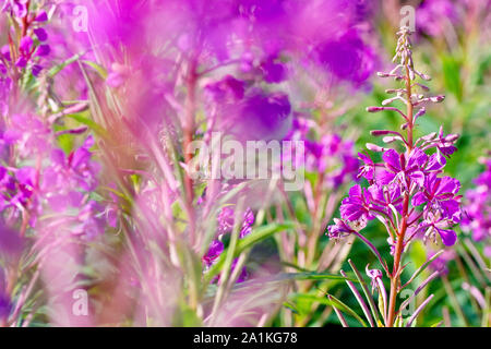 Rosebay Willowherb (epilobium angustifolium or chamerion angustifolium), close up of a single flowering spike out of many. - Stock Photo