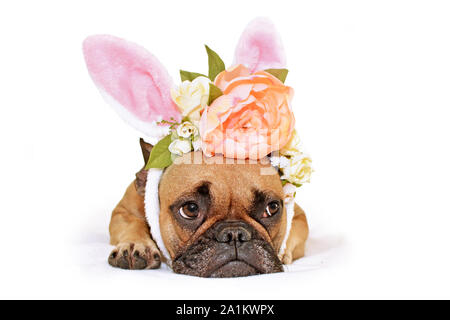 Cute French Bulldog dog lying on floor dressed up with a beautiful peony and roses flower rabbit ears headband easter bunny costume - Stock Photo