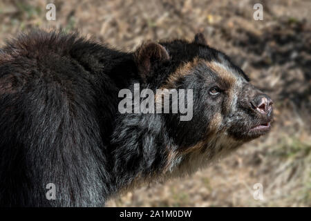 Spectacled bear / Andean bear / Andean short-faced bear / mountain bear (Tremarctos ornatus / Ursus ornatus) native to South America - Stock Photo