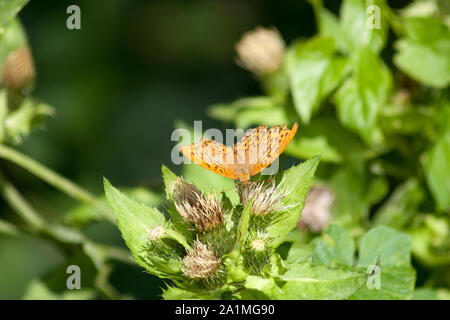Silver-washed fritillary,Argynnis paphia butterfly - Stock Photo