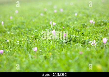 autumn crocus Colchicum autumnale - Stock Photo