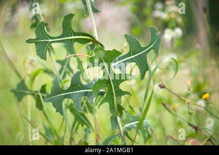 prickly lettuce, milk thistle, compass plant  (Lactuca serriola) - Stock Photo