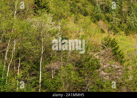 New spring leaves on a forest-laden mountainside, White Mountain National Forest, Crawford Notch State Park, Carroll Co., NH - Stock Photo
