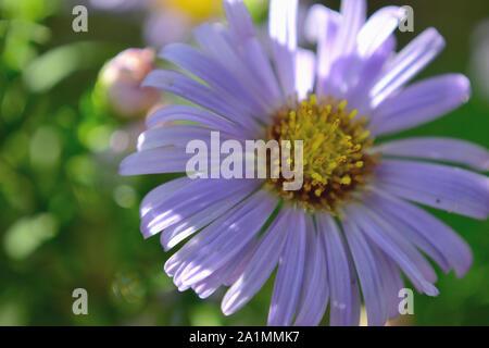 Close up of European Michaelmas-daisy flower, Aster amellus - Stock Photo
