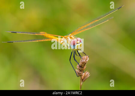 Close-up of a Sympetrum fonscolombii, Red-veined darter or nomad resting on vegetation - Stock Photo