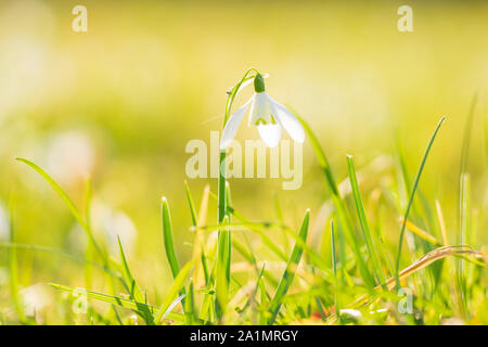 Common snowdrop Galanthus nivalis flowers blooming in sunlight on a green meadow. small focus depth technique. - Stock Photo