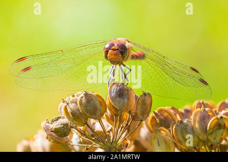 Sympetrum vulgatum, vagrant darter or moustached darter front view. Wings spread he is drying his wings in the early, warm sun light - Stock Photo