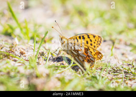 Queen of spain fritillary, issoria lathonia, butterfly resting in a meadow. Coastal dunes landscape, daytime bright sunlight. - Stock Photo