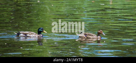 Ducks in single formation - Stock Photo