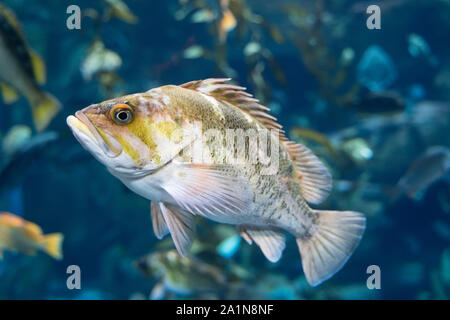 Copper Rockfish (Sebastes Caurinus), Fish, Ripely's Aquarium of Canada