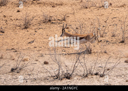Springbok Running and Leaping Midair, Sprinting Away in Etosha NAtional Park, Namibia - Stock Photo