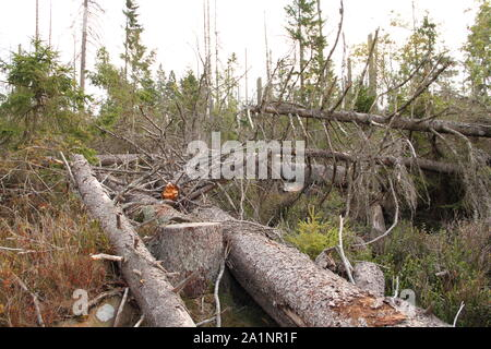 Forest dying on the Brocken in the Harz Germany - Stock Photo