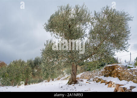Olive trees in the snowy Apulian countryside (Italy) - Stock Photo