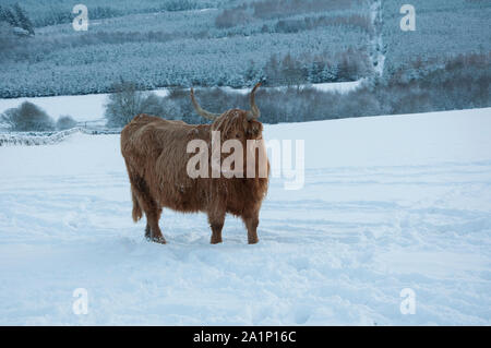 Highland cattle (Bos taurus) in winter, snow on the ground, Kinharvie Valley, Dumfries and galloway, SW Scotland - Stock Photo