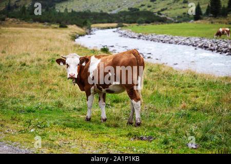 Grazing cows. Krimmler Achen valley. Hohe Tauern National Park. Austrian Alps. - Stock Photo