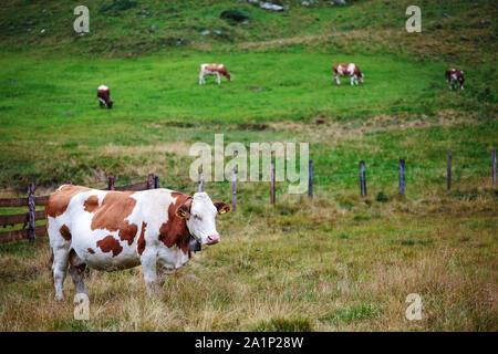 Grazing cows. Krimmler Achen valley. Hohe Tauern National Park. Austrian Alps.