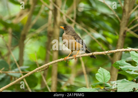 Olive Thrush (Turdus olivaceus) on branch, Kenya - Stock Photo