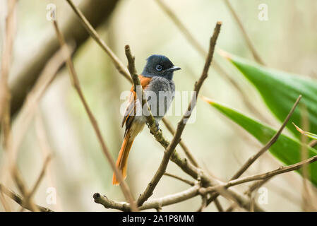 Female African Paradise-flycatcher (Terpsiphone viridis) on branch, Kenya - Stock Photo