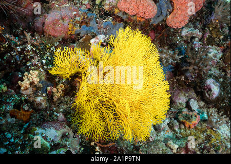 Yellow gorgonian fan, Acabaria sp., Sulawesi Indonesia. - Stock Photo