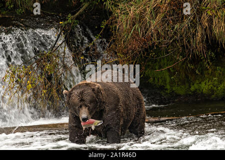 The dominate male adult Brown Bear known as 747, catches a Sockeye Salmon in the far pool at Brooks Falls in Katmai National Park and Preserve September 15, 2019 near King Salmon, Alaska. The park spans the worlds largest salmon run with nearly 62 million salmon migrating through the streams which feeds some of the largest bears in the world. - Stock Photo